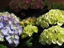 L'hortensia de blanc, bleu et rose fleurit cet amour la nuance Images stock