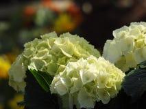 L'hortensia de blanc fleurit cet amour la nuance Photo stock