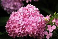 L'hortensia est un genre d'usine fleurissante avec 70-75 espèces Photos stock