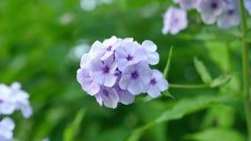 L'hortensia pourpre fleurit le plan rapproché sur Bush Images libres de droits