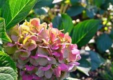 L'hortensia pourpre fleurit sous les rayons du soleil d'automne, plan rapproché photos stock