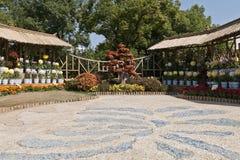 L'horticulture des chrysanthèmes Photos stock