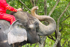 L'humain de Thaïlande monte l'éléphant Photo stock