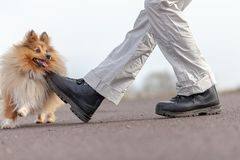 L'humain forme des sauts au-dessus des jambes avec un chien de berger de Shetland Photo libre de droits