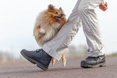 L'humain forme des sauts au-dessus des jambes avec un chien de berger de Shetland Images stock