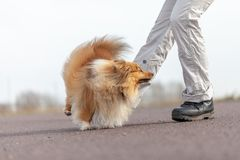 L'humain forme des sauts au-dessus des jambes avec un chien de berger de Shetland Images libres de droits