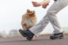 L'humain forme des sauts au-dessus des jambes avec un chien de berger de Shetland Image stock
