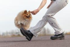 L'humain forme des sauts au-dessus des jambes avec un chien de berger de Shetland Photo stock