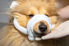 L'humain met un bandage autour du museau d'un chien photo libre de droits