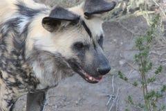 L'hyène Photographie stock