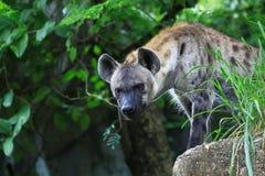 L'hyène de tache observant et préparent pour la chasse Image libre de droits