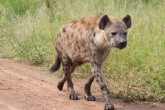 L'hyène font un tour Images libres de droits