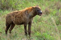 L'hyène repérée (crocuta de Crocuta) Photographie stock libre de droits