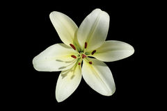 L.A. Hybrid Lilie `Courier` large white-lime flower  on Royalty Free Stock Image