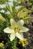 L.A. Hybrid Lilie `Courier` large white-lime flower and buds Stock Photography