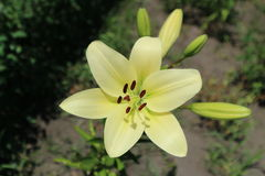 L.A. Hybrid Lilie `Courier` large white-lime flower and buds Stock Photos