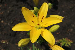 L.A. Hybrid Lilie `Serrada` large sunny yellow flower and buds Stock Photo