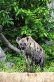 L'hyène sont regard fixe à nous avec le fond de forêt Photographie stock
