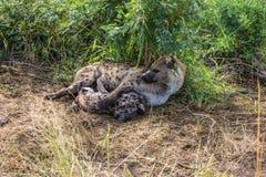 L'hyène tachetée alimente son chiot Photo stock