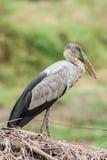 L'ibis aperto della fattura Fotografia Stock Libera da Diritti