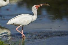 L'ibis inghiotte giù l'acqua Fotografia Stock