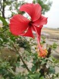 L'ibisco fiorisce la fotografia stupefacente immagini stock