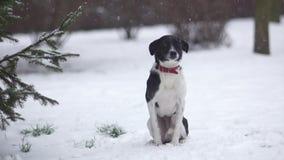 L'ibrido da solo congelato si siede nella neve sotto un abete rosso Il cane si è perso nell'inverno video d archivio