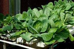 L'idroponico organico della verdura del cavolo Immagine Stock