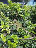 L'iguana ci ha sorpresi nel giardino, Costa Rica fotografia stock libera da diritti