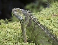 L'iguana ha foglia attaccata al suo Chin Fotografie Stock