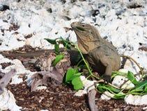 L'iguana selvaggia mangia i fogli freschi. Fotografie Stock Libere da Diritti