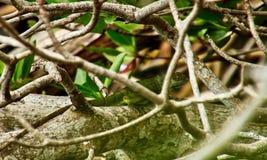 L'iguana a strisce verde striscia lungo il tronco di albero nella palude della mangrovia immagine stock libera da diritti