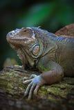 L'iguana verde Immagine Stock Libera da Diritti