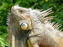 L'iguane Photo stock