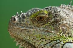 L'iguane Photos libres de droits