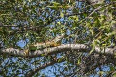 L'iguane est un genre des lézards herbivores Photos libres de droits