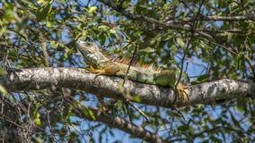 L'iguane est un genre des lézards herbivores Images stock