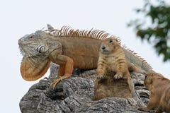 L'iguane et deux Marmot deviennent chaud au soleil sur une branche photos libres de droits