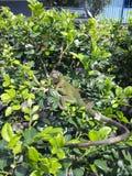 L'iguane nous a étonnés dans le jardin, Costa Rica Photographie stock libre de droits