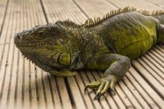 L'iguane vert ou l'iguane commun/est des espèces d'indigène d'iguane central et en Amérique du Sud photo libre de droits