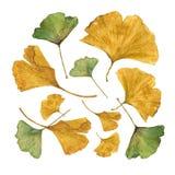 L'illustrazione botanica dell'acquerello del ginkgo variopinto va su fondo bianco Fotografie Stock