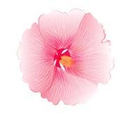 L'illustrazione dell'ibisco rosa fiorisce su fondo bianco royalty illustrazione gratis