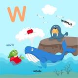 L'illustrazione ha isolato il W-tricheco della lettera dell'alfabeto, balena, verme royalty illustrazione gratis