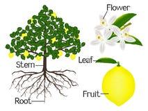 L'illustrazione mostra la parte delle piante del limone royalty illustrazione gratis