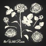 L'illustrazione selvaggia delle rose Immagini Stock Libere da Diritti