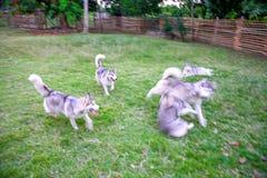 L'image brouillée du paquet de chiens de traîneau sibériens blanc gris jouent en parc photographie stock