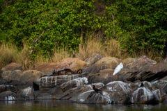 L'image d'habitat des chiots Lisse-enduits de famille de pers de Lutrogale de loutre jouent dans la lumi?re de matin sur des roch photo stock