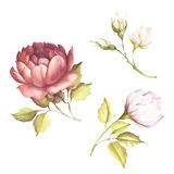 L'image d'une rose Illustration d'aquarelle d'aspiration de main Photos libres de droits