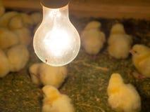 L'image de foyer sélectif de hacher le poussin dans une ferme, maintenant des poussins chauds par la lampe de chaleur de volaille image libre de droits