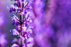L'image de plan rapproché de la lavande violette fleurit dans le domaine photos libres de droits